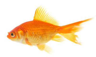 New addition to the fishbowl fish of gold for Ok google plenty of fish