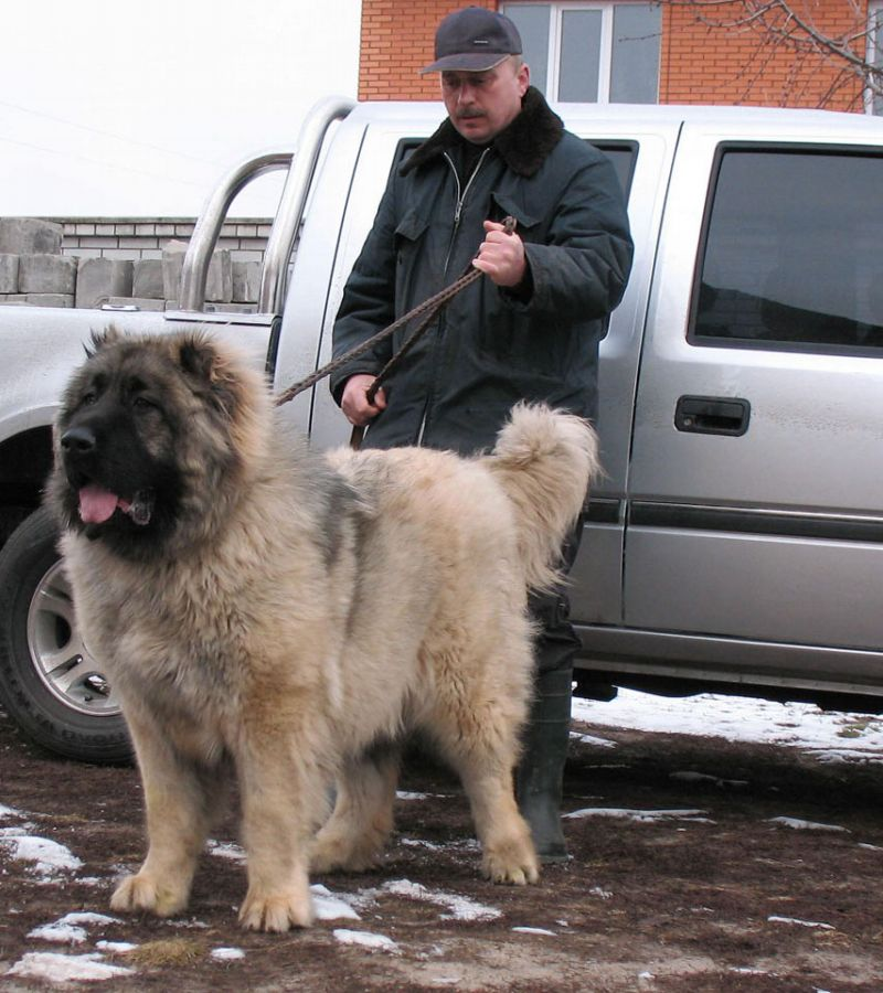 Russian Mountain Dog For Sale Uk