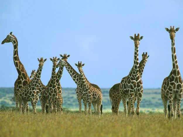 Giraffe+wallpapers+2