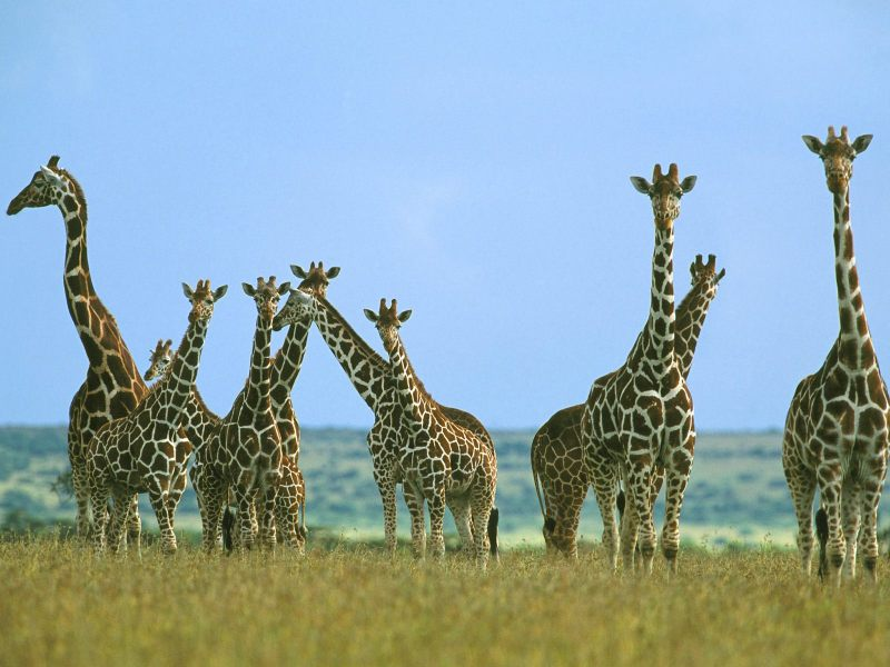 Giraffe+wallpapers+2