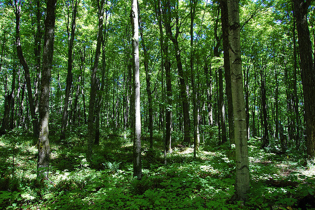 Michigan forest.