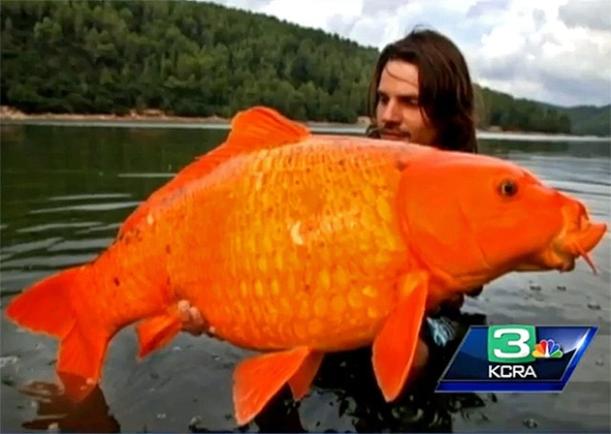 monster-goldfish-france