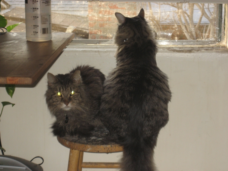 This is Sherekahn on the laft and my current cat, Fu, on the right.