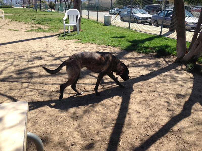 Bulldozer Dog Breed