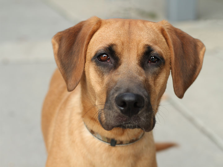 My Mastiff Boxer Dog Ear Flap Is Dry