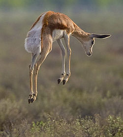 A springbok pronking. Image from wikipedia.