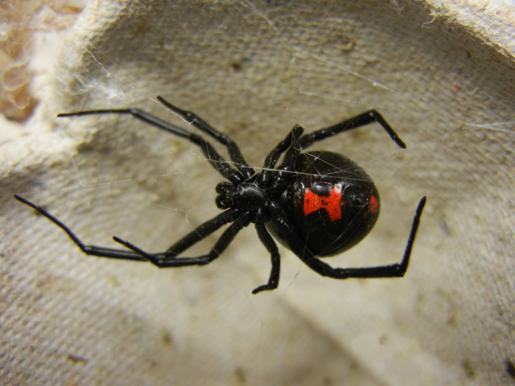 http://commons.wikimedia.org/wiki/File:Adult_Female_Black_Widow.jpg
