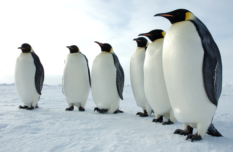 Six Emperor Penguins. Daaaaw. Image from www2.ucar.edu