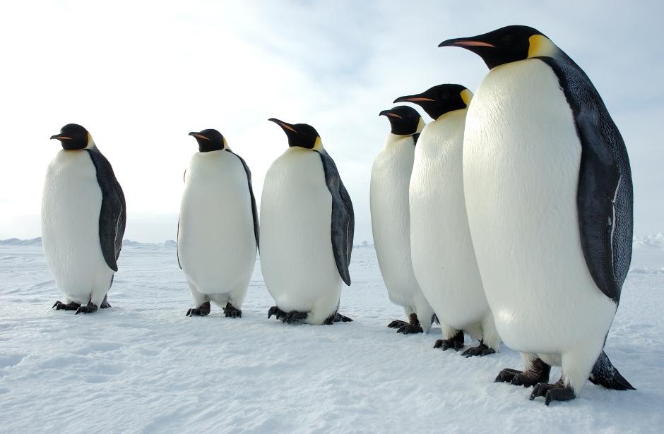 Six Emperor Penguins. Daaaaw. Image from www2.ucar.edu