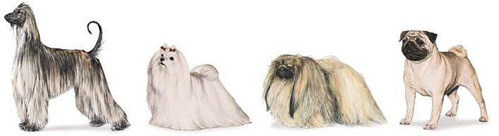 Afhgan, Maltese, Pekingese, Pug. Not to scale. Images from American Kennel Club