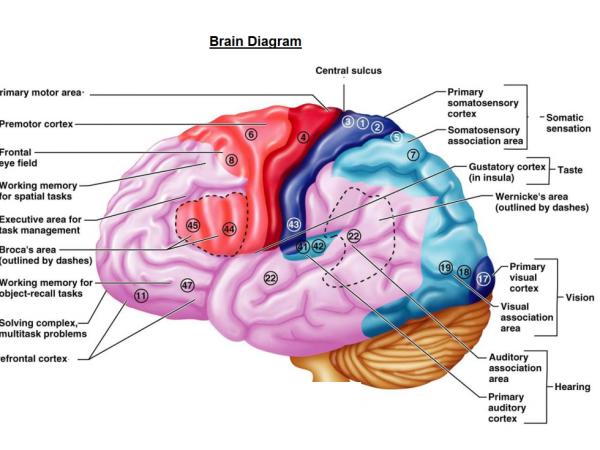 Inside The Human Brain For Kids Brain Diagram For Kids
