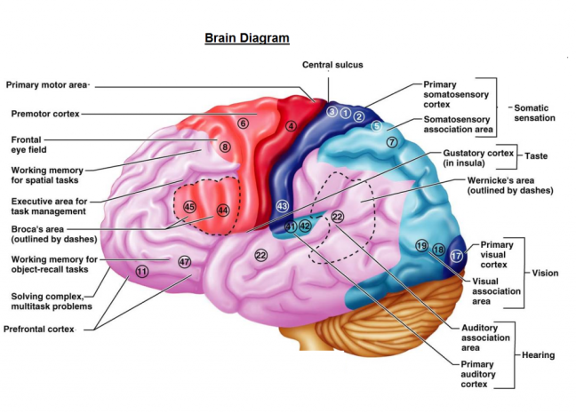 diagram-of-the-human-brain-parts--8