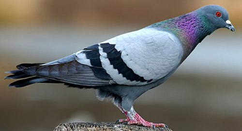 The Official Peace Pigeon. I named him Edgar. (oakcityhustle.com)