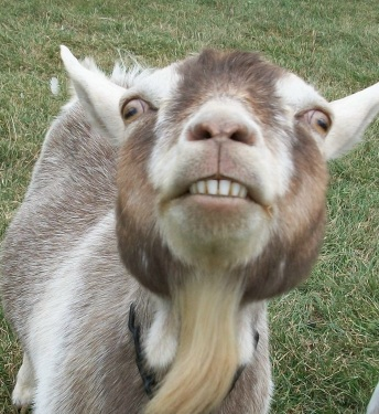 This image is called scareygoat.jpg. Yup. (carolsbeyondreason.blogspot.com)