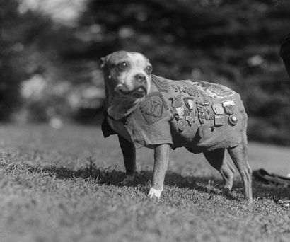 Sgt. Stubby, veteran of World War I, mascot for the 102nd Infantry, 26th Division.  (wikipedia)