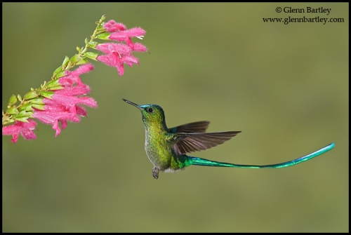 Long-tailed Sylph (Aglaiocercus kingi) (glenbartley.com)
