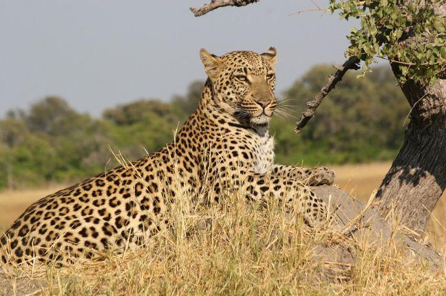 African Leopard  (wikipedia.org)