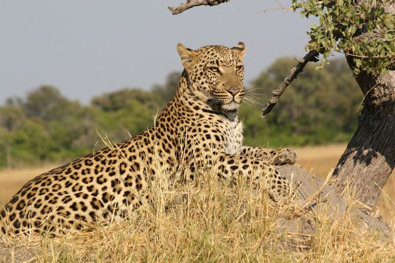 African Leopard  (wikipedia.org)
