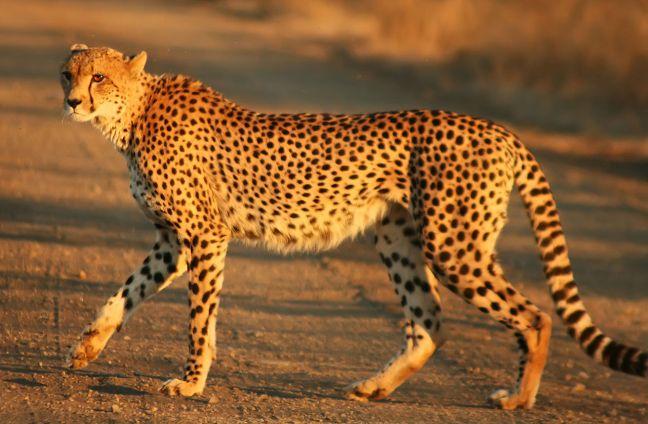 1280px-Cheetah_Kruger