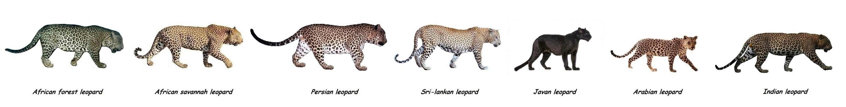 leopard and jaguar comparison - photo #10