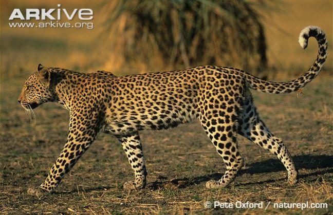 African-leopard-walking